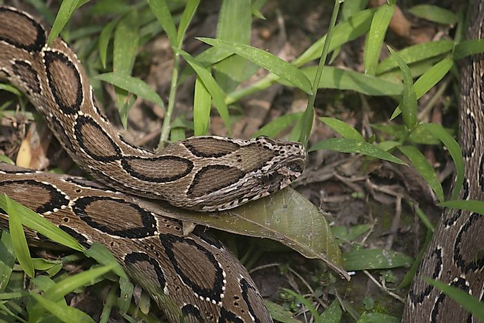Russell's Viper Facts: Animals of Asia