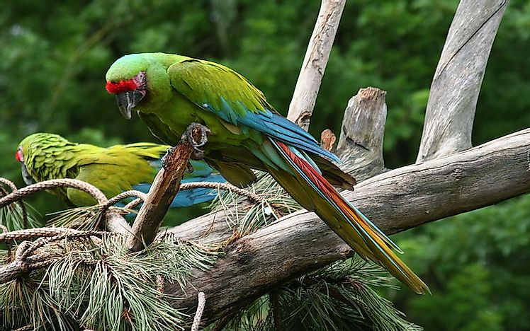 #8 Great Green Macaw
