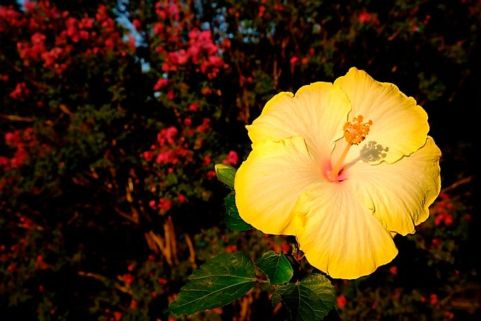 What Is The Hawaii State Flower Worldatlascom