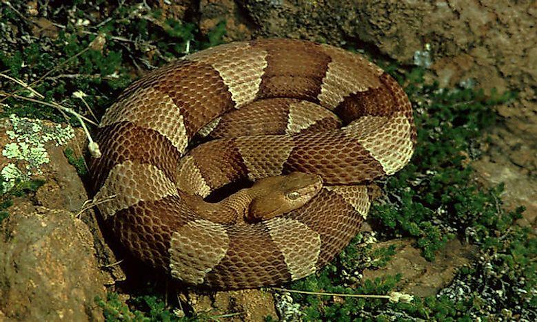 N Snakes Venomous Snakes Of Nor...