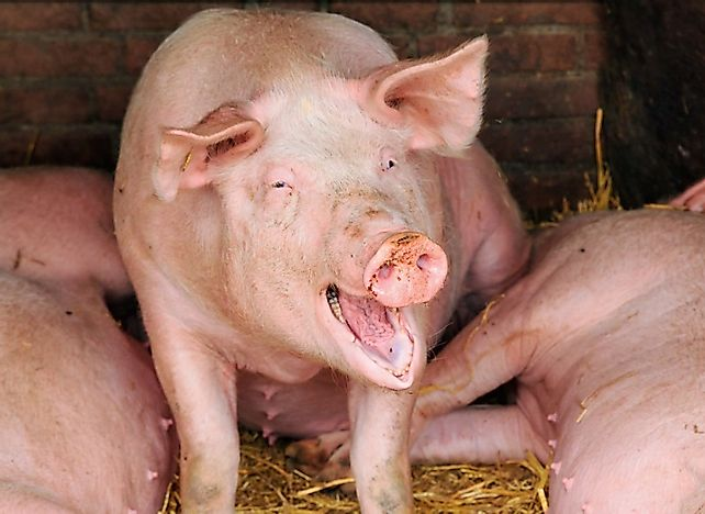 Top 15 Live Pig Exporting Countries