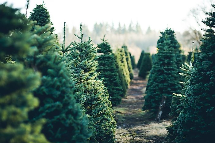 Best Christmas Trees.What Type Of Trees Make The Best Christmas Trees