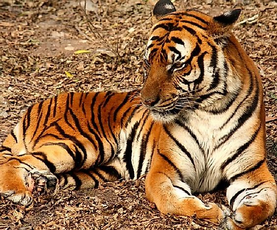 Most Threatened Tigers In The World