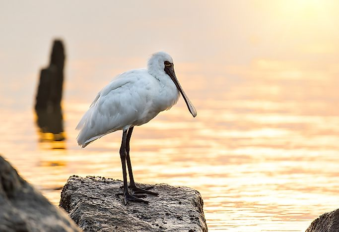 Black-faced spoonbill.