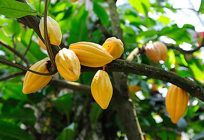 Top 10 cocoa producing countries worldatlas fresh yellow cocoa pods on the plant sciox Image collections