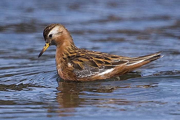 #1 Red Phalarope