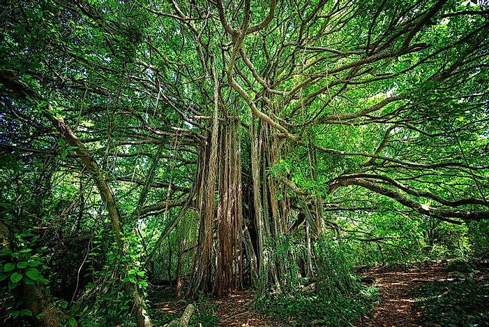 Why Is The Strangler Fig Tree Called So?