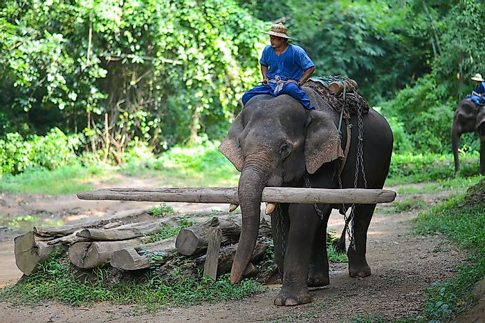 Asian Elephant Facts: Animals of Asia