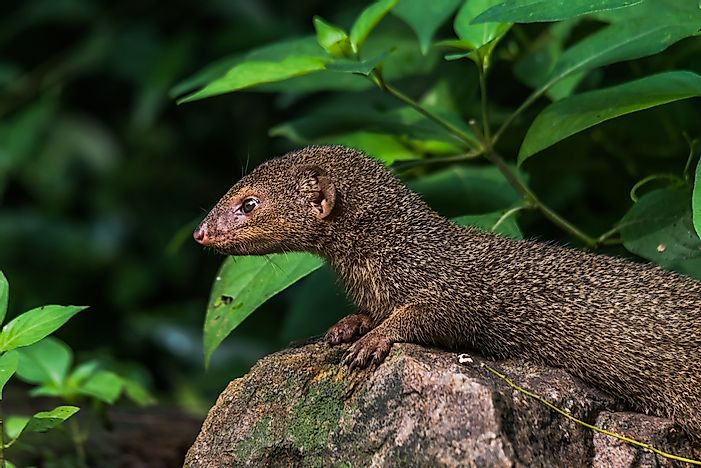 #9 Indian Mongoose