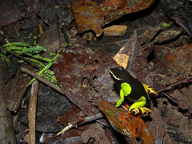 #2 Painted Mantella