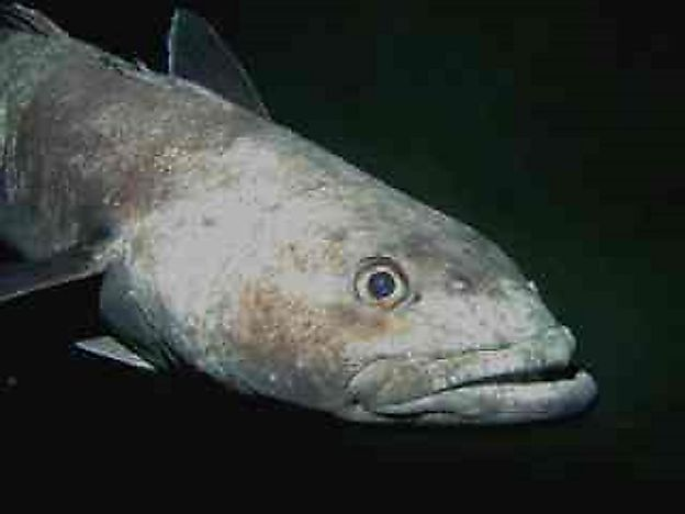Native Fish Of Antarctica