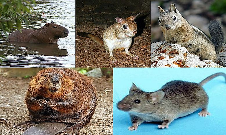 What Are Rodents?