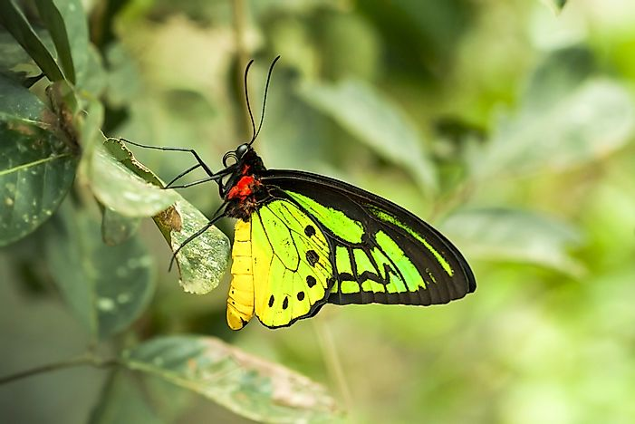 #2 Goliath Birdwing - Ornithoptera goliath
