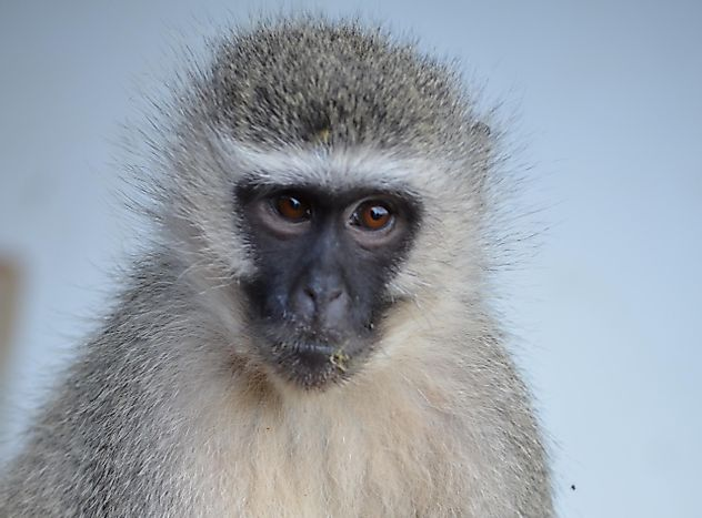"The Vervet Monkey is of ""Least Concern"", But Should It Be?"