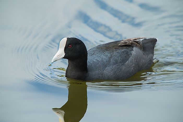 A Hawaiian coot.