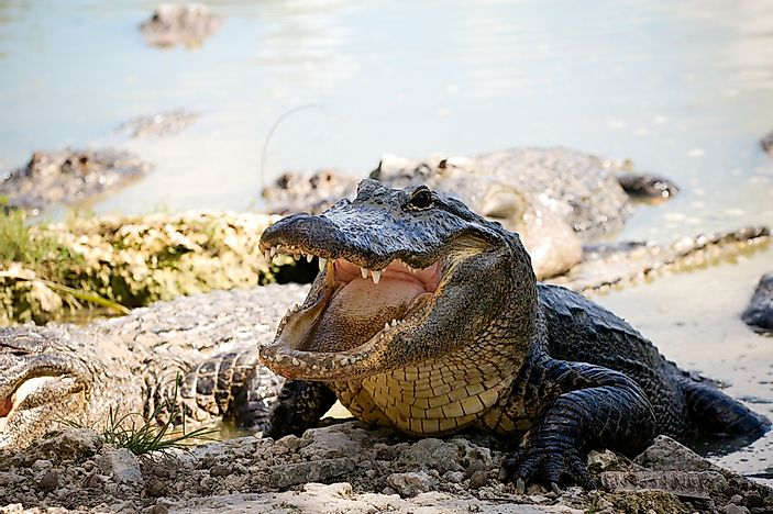 #15 American Alligator - 90 decibels
