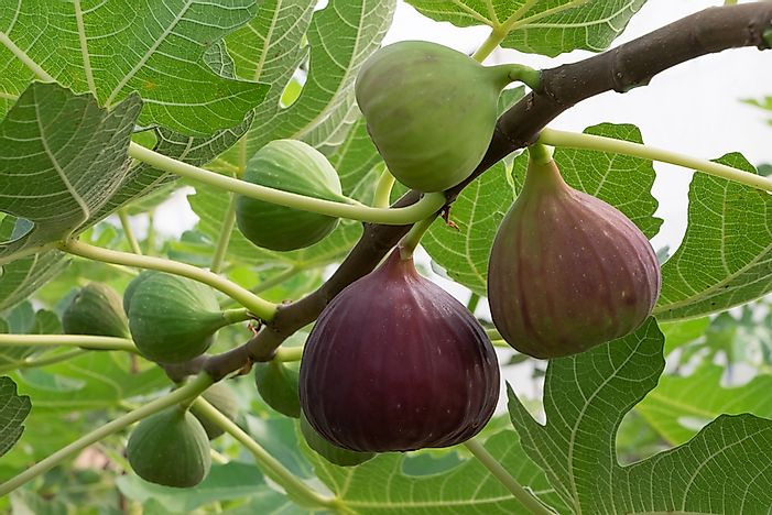 Where are Figs Grown?