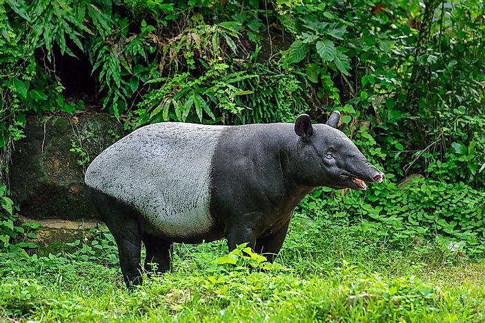 tapir sex