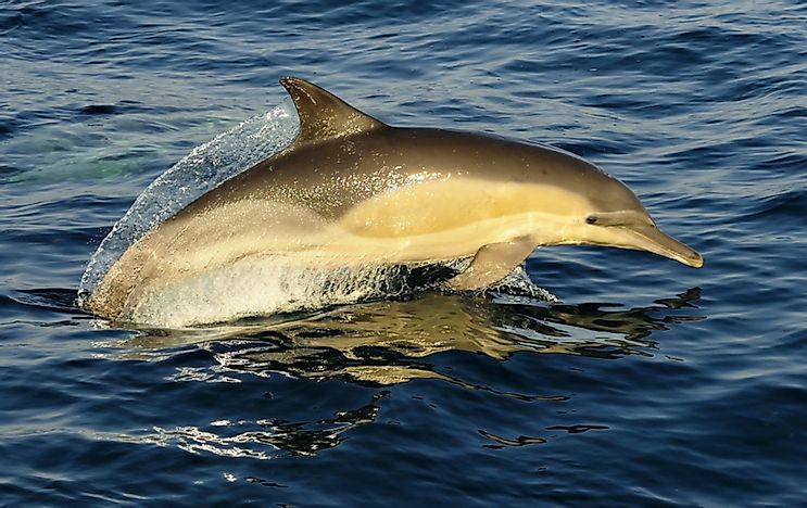 A white-beaked dolphin.