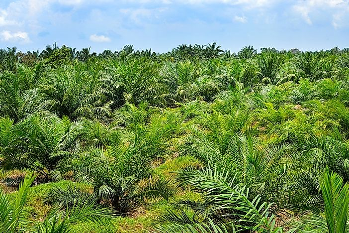 How Is The Palm Oil Industry Destroying Wildlife and Their Habitats?