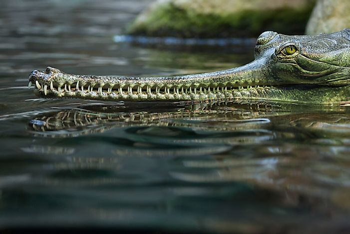 The Population Of Gharial: Important Facts And Figures