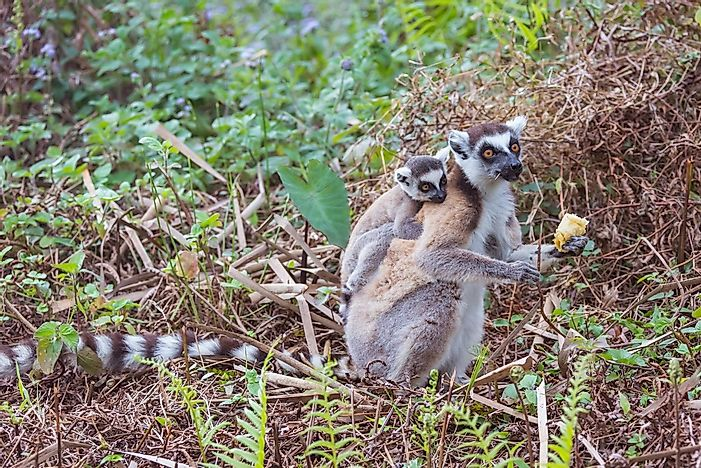 Ring-Tailed Lemur Facts: Animals of Africa