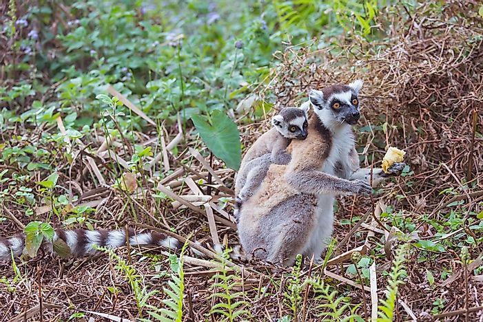 ring tailed lemur facts animals of africa worldatlas com