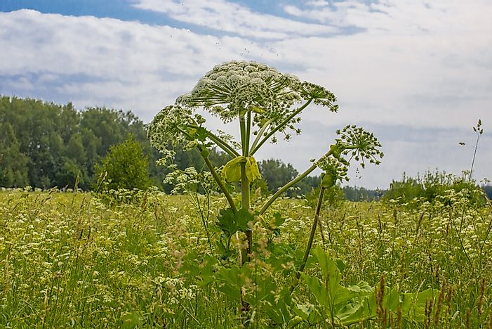 What Is the Giant Hogweed Plant?