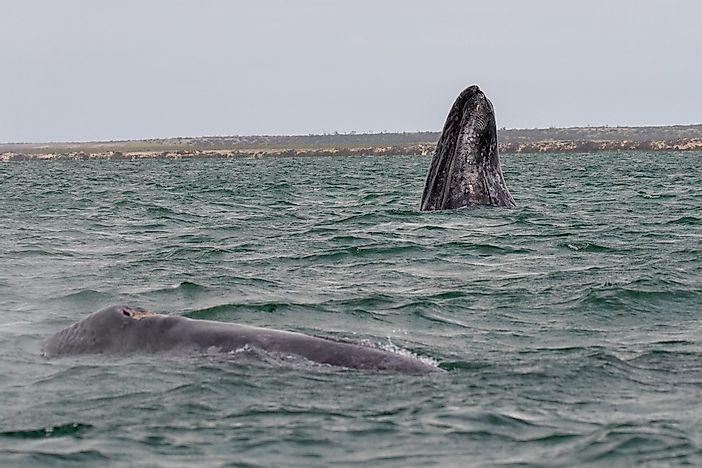 Gray Whale Facts: Animals of North America