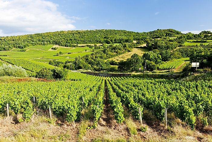 A vineyard in Pays de la Loire.