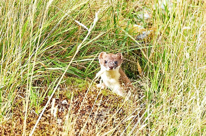 #8 Short-tailed Weasels (Mustela erminea)