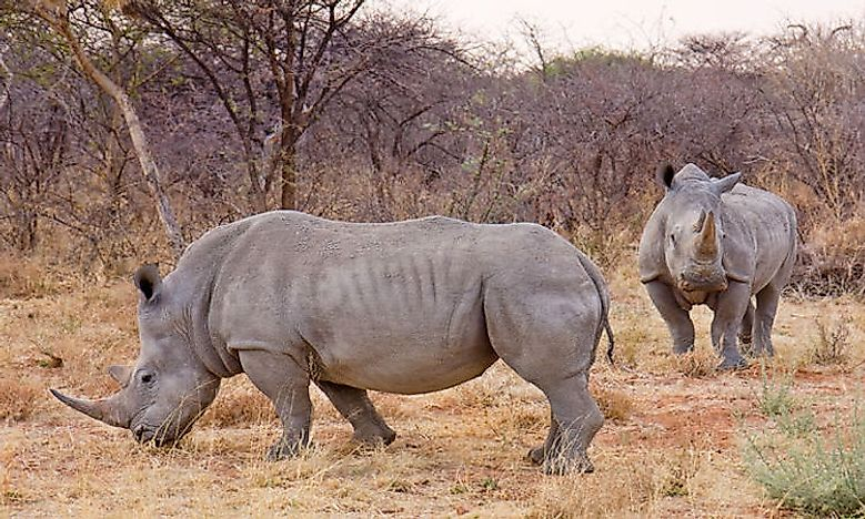 #6 White Rhinoceros -