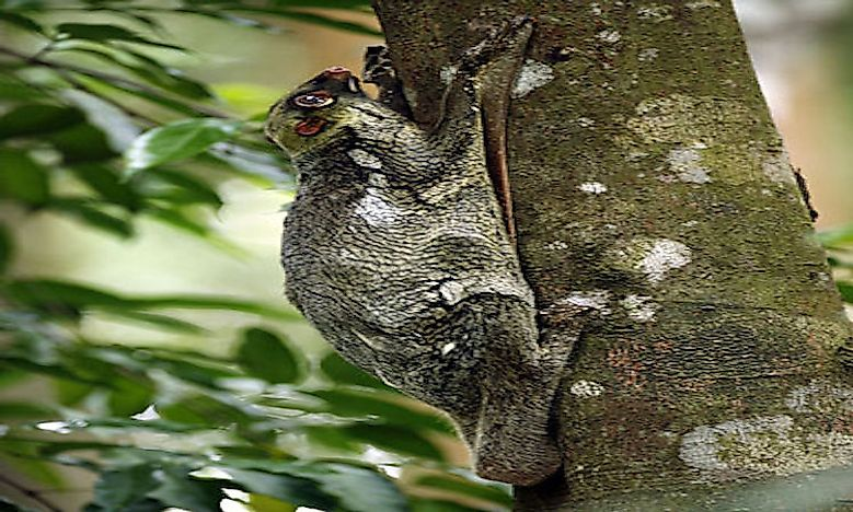 #11 Flying Lemur -