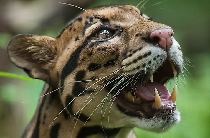 Clouded Leopard Facts: Animals of Asia
