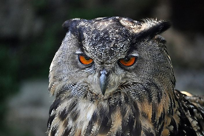 Eurasian Eagle-Owl Facts: Animals of Europe
