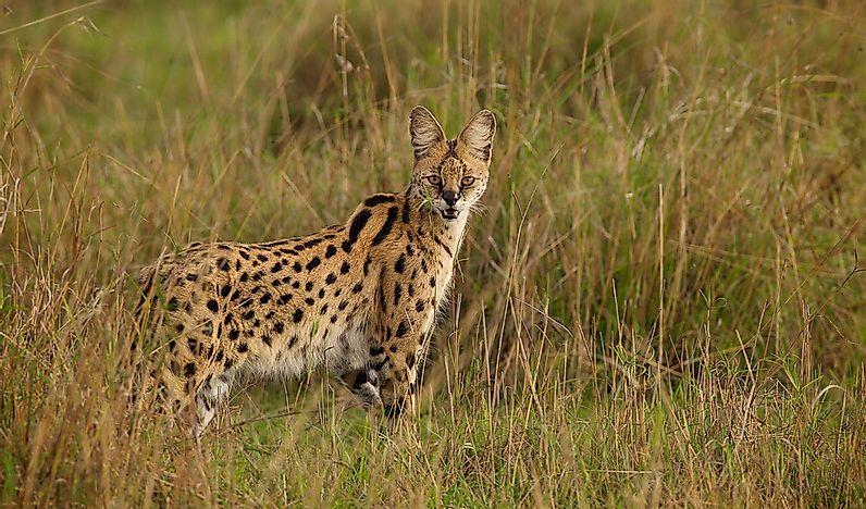The Seven Species Of Wild Cats Of Africa - WorldAtlas com