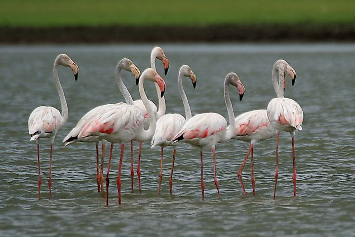 #1 Greater Flamingo