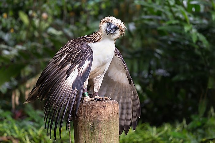 #6 Philippine Eagle, 220 cm (86.6 inches)