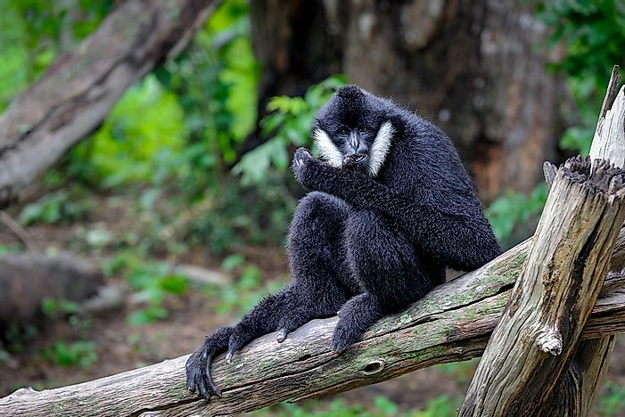 The Four Species Of Gibbons On The Brink Of Extinction