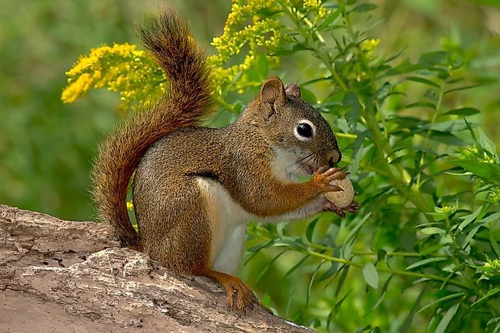 5 Types Of North American Squirrels Worldatlas Com