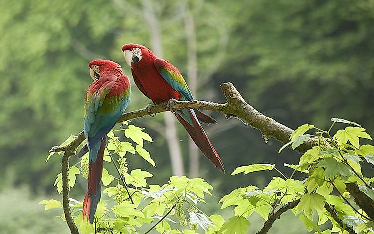 #10 Green-Winged Macaw