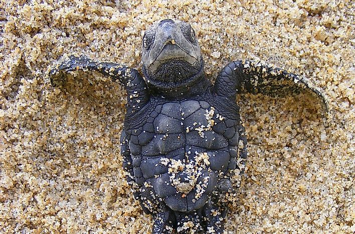 Olive ridley sea turtle facts animals of north america for Interesting facts north america