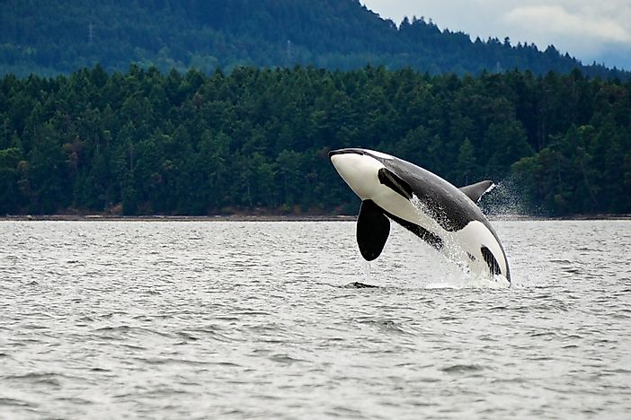 A killer whale on the west coast of Canada.