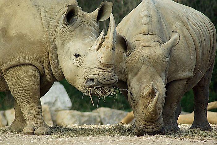 10 Animals Who Are Unlikely Herbivores Worldatlas Com