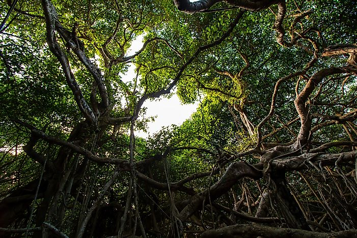​​The Great Banyan Tree of India