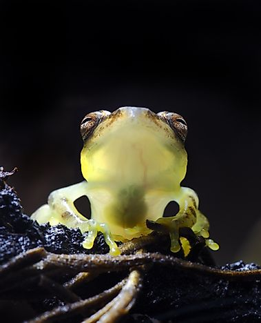 #8  Glass Frog - What Animals Live In The Amazon Rainforest?