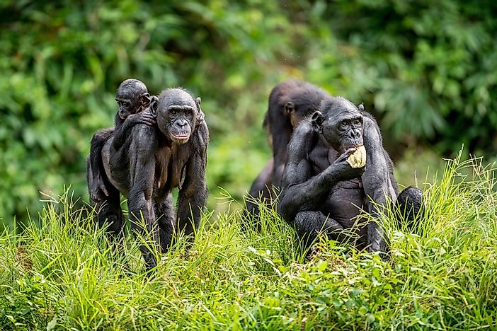 Bonobo Facts - Animals of Africa