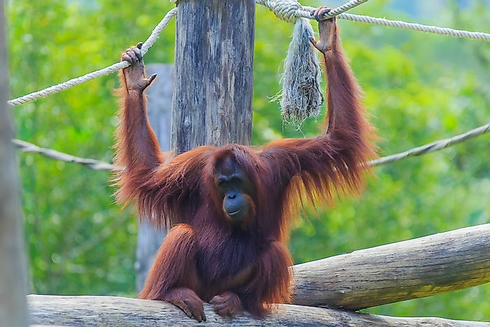 Critically Endangered Primates Of Asia