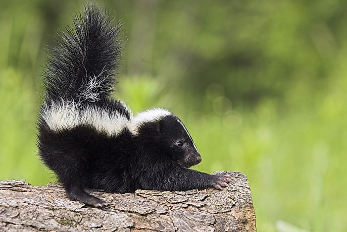 Skunks are nocturnal animals and can often be found in cities.