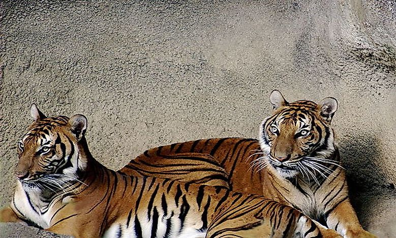 #2 IndoChinese Tiger -